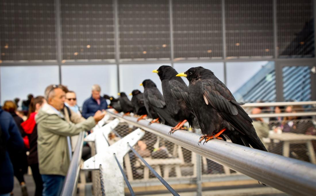 corvos enfileirados