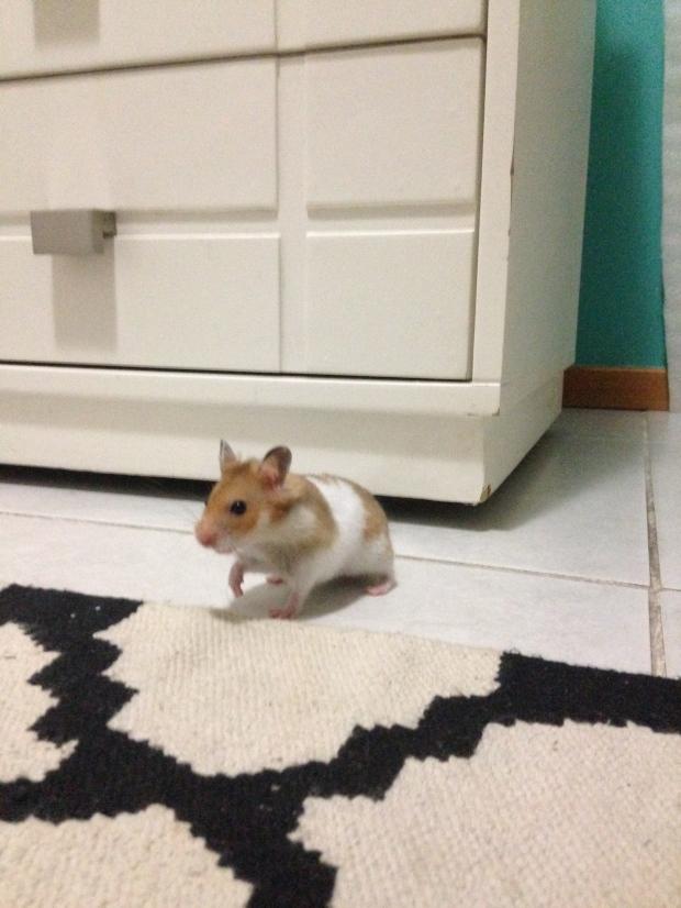 hamster-bjorn-blog-coamotta